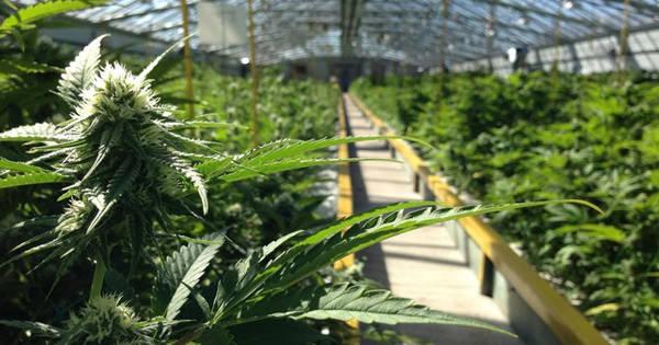 cannabis thérapeutique lille